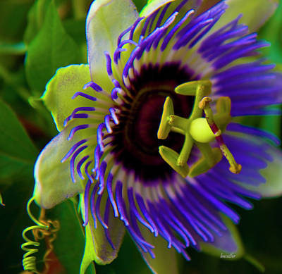 Passion Fruit Photograph - Passion-fruit Flower by Betsy Knapp
