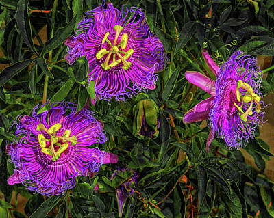 Photograph - Passion Fruit Flower by Dennis Dugan
