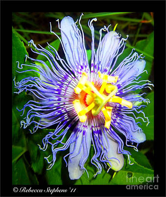 Passion Fruit Art Print by Rebecca Stephens