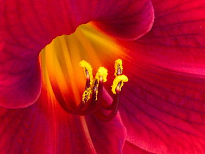 Red Daylily Photograph - Passion by Marla McFall