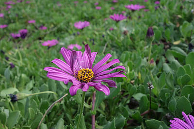 Photograph - Passion Mix - Osteospermum - African Daisy by Elena Schaelike