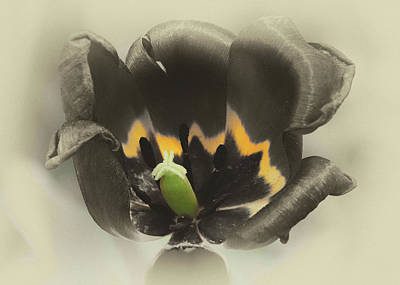 Photograph - Passion Tulip by Cate Franklyn