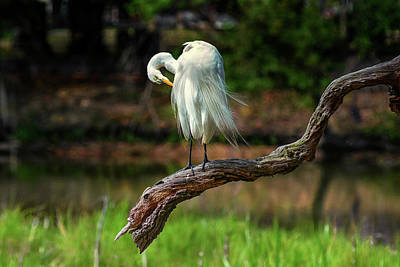 Passionate About Preening Print by Donnie Smith
