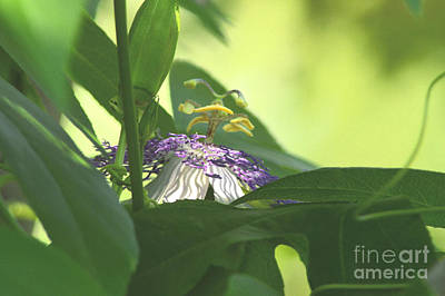 Photograph - Passionflower Blooming by Robyn King