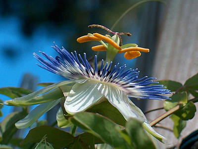 Passionflower Art Print by Racquel Morgan