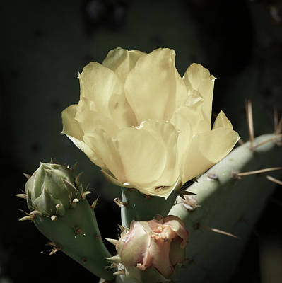 Photograph - Pastel Cactus Bloom by Laurel Powell