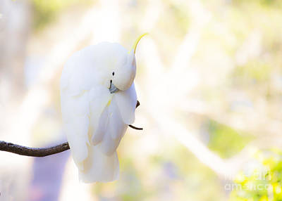 Pastel Cockatoo Print by Avalon Fine Art Photography