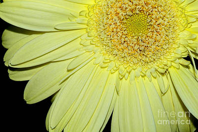 Photograph - Pastel Lemon Gerbera By Kaye Menner by Kaye Menner