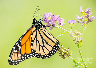 Photograph - Pastel Monarch by Cheryl Baxter