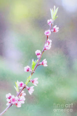 Photograph - Pastel Painted Peach Blossoms by Anita Pollak