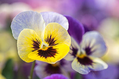 Pastel Pansies Art Print