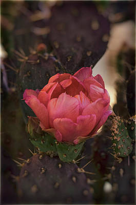 Photograph - Pastel Pink Cactus Bloom  by Saija Lehtonen