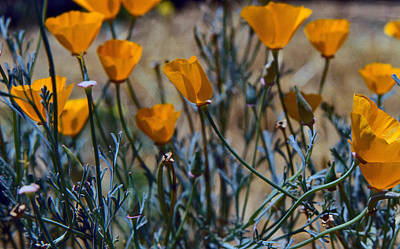 Photograph - Pastel Poppies by Gary Brandes