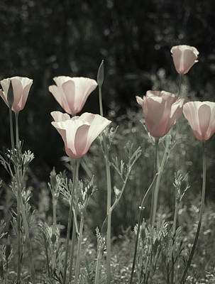 Photograph - Pastel Poppies by Laurel Powell