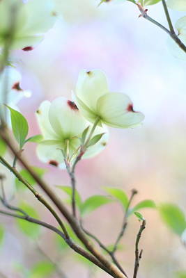 Indiana Dogwood Trees Photograph - Pastel Spring by Andrea Kappler