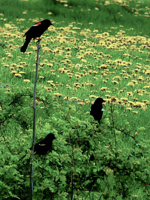Photograph - Pastoral Red Winged Blackbirds by Leslie Montgomery