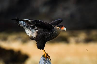 Photograph - Patagonia Caracara by Walt Sterneman