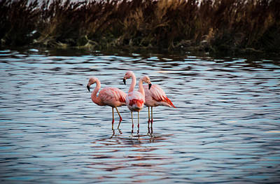 Patagonia Flamingoes Art Print