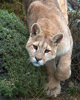 Photograph - Patagonia Puma 3 by David Beebe