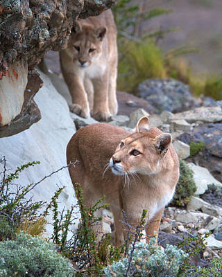Photograph - Patagonia Pumas 2 by David Beebe