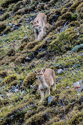 Photograph - Patagonia Pumas by Walt Sterneman