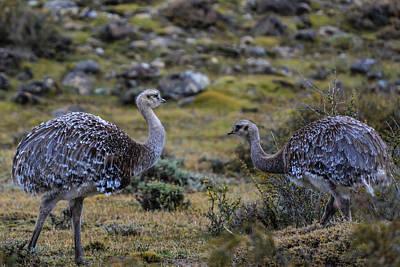 Photograph - Patagonia Rhea by Walt Sterneman