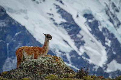 Photograph - Patagonian Guanaco #2 - Chile by Stuart Litoff