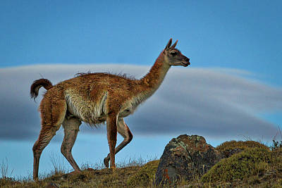 Photograph - Patagonian Guanaco - Chile by Stuart Litoff