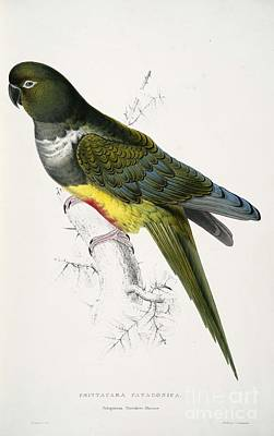 Pigeon Painting - Patagonian Parrakeet-maccaw by Celestial Images