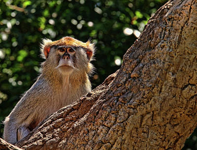 Photograph - Patas Monkey 2 by Judy Vincent