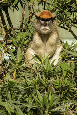 Photograph - Patas Monkey by Suzanne Luft