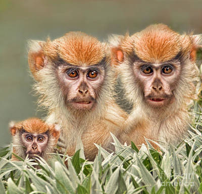 Photograph - Patas Monkeys II by Jim Fitzpatrick