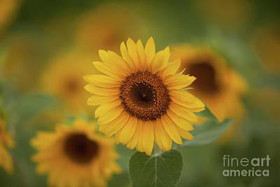 Patch Of Sunflowers Art Print