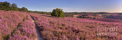 Heather Photograph - Path Through Blooming Heather At The Posbank In The Netherlands by Sara Winter