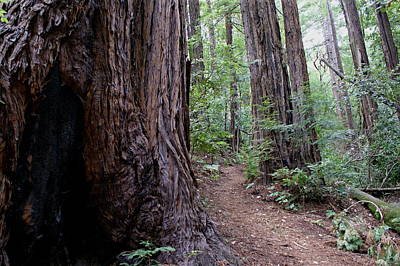 Photograph - Pathway Through A Redwood Forest On Mt Tamalpais by Ben Upham III