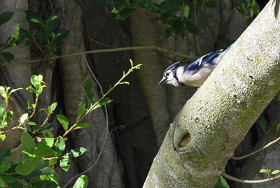 Photograph - Patient Blue Jay by William Tasker