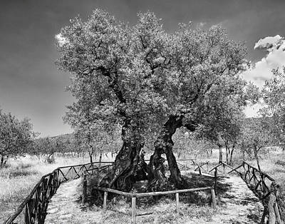Photograph - Patriarch Olive Tree by Alan Toepfer