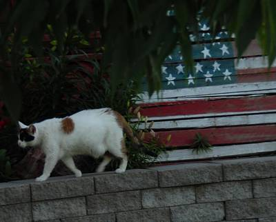 Of Calico Cats Photograph - Patriotic Domestic Cat by Pamela Pursel