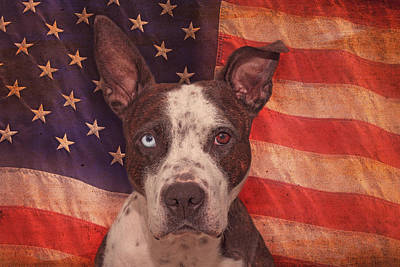 Cleo Photograph - Patriotic Pit Bull  by Brian Cross