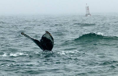 Photograph - Humpback Flukes And Buoy by Amelia Racca