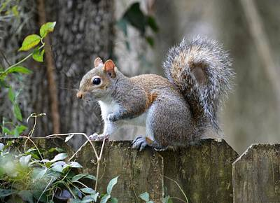 Photograph - Pause - Eastern Gray Squirrel by rd Erickson