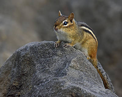 Eastern Chipmunk Photograph - Pause by Tony Beck