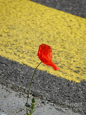 Photograph - Pavement Poppy by Brian Boyle