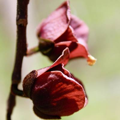 Photograph - Paw Paw Burgundy Blooms by Mandy Elliott
