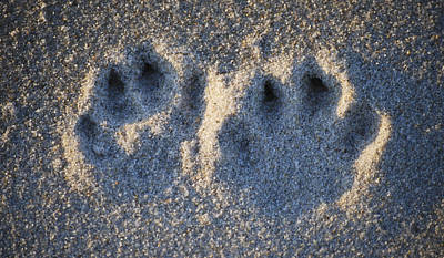 Photograph - Paw Prints In The Sand by Peggie Strachan