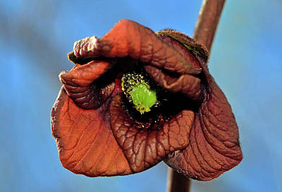 Photograph - Pawpaw Tree Blossom 001 by George Bostian