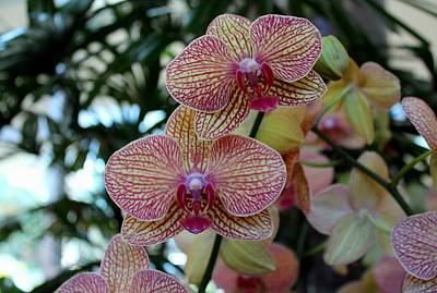 Photograph - Peabody Orchid II by Michiale Schneider
