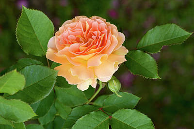 Photograph - Peace In The Garden - Peace Rose by Jane Eleanor Nicholas