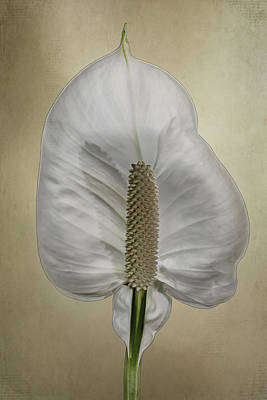 Peach Lilly Photograph - Peace Lily 1.1 by Patti Deters