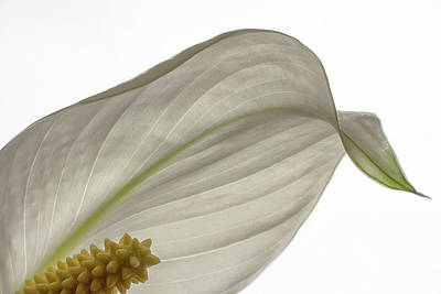 Photograph - Peace Lily 2 by Shirley Mitchell